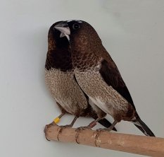 Чешуйчатая амадина (лат. Lonchura punctulata)