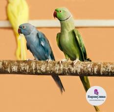 Попугай Ожереловый  (лат. Psittacula krameri)