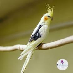 Попугай Корелла (лат. Nymphicus hollandicus)