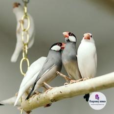 Попугай Ри́совка (лат. Padda oryzivora)