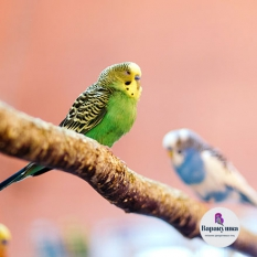 Волнистый попугай (лат. Melopsittacus undulatus)