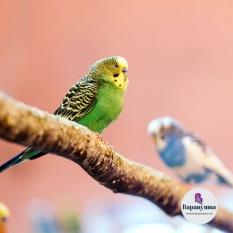 Волнистый попугайчик (лат. Melopsittacus undulatus)